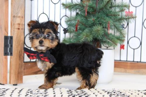 Yorkie Puppies AKC Registered Only three out - Imagen 1