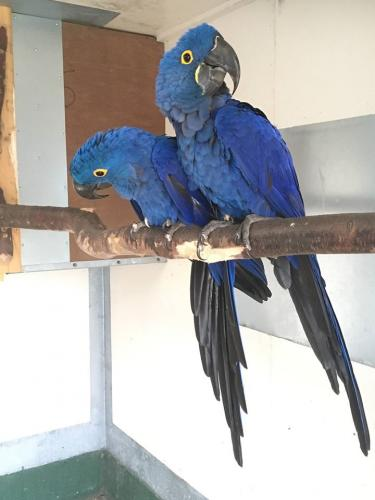 These baby male and female Hyacinth Macaws an - Imagen 1