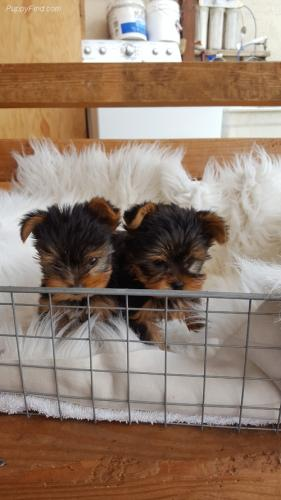 Awesome TCup yorkie Puppies Available Male a - Imagen 1